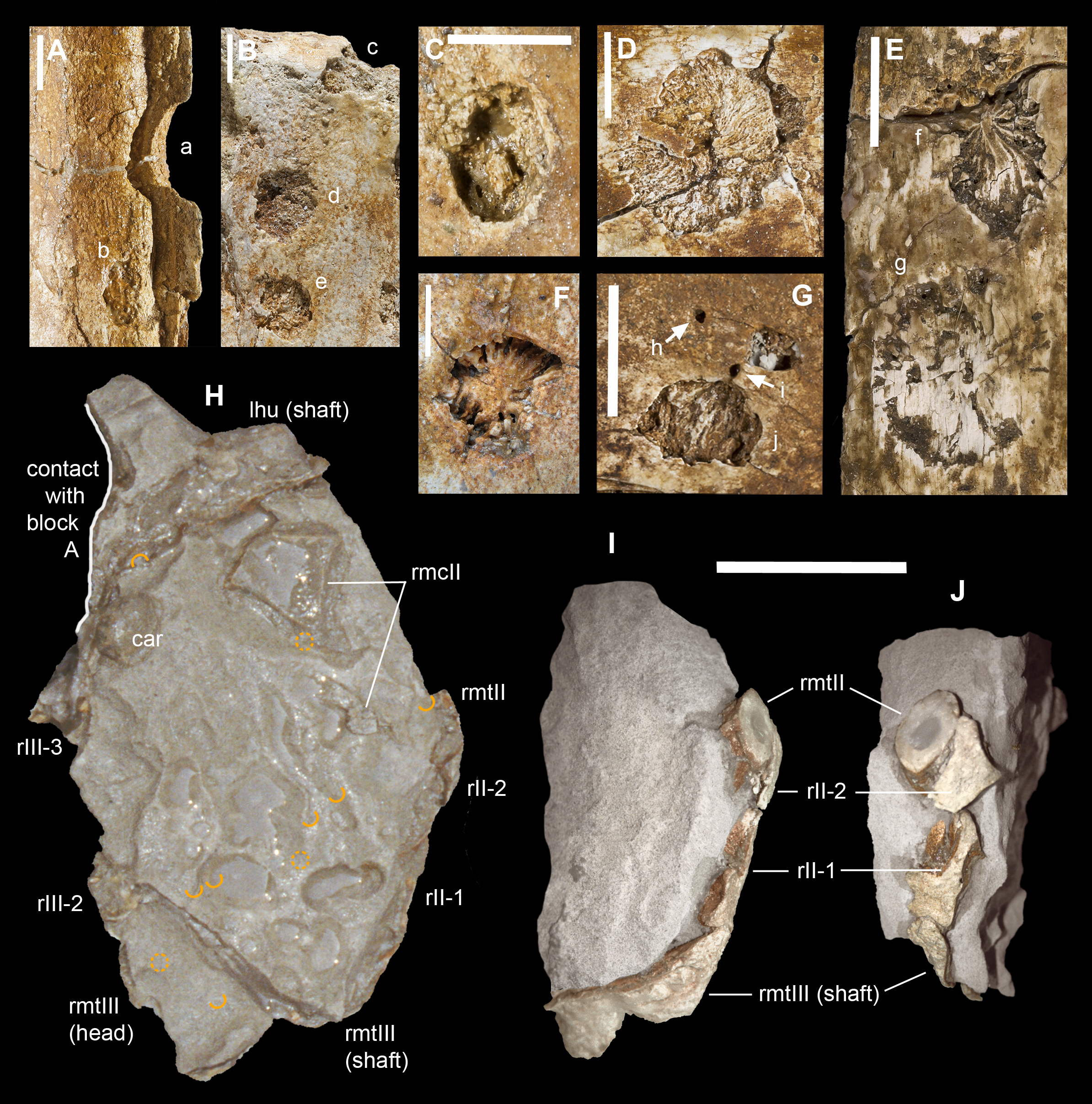 Centro Veneto Del Mobile Pavia the oldest ceratosaurian (dinosauria: theropoda), from the