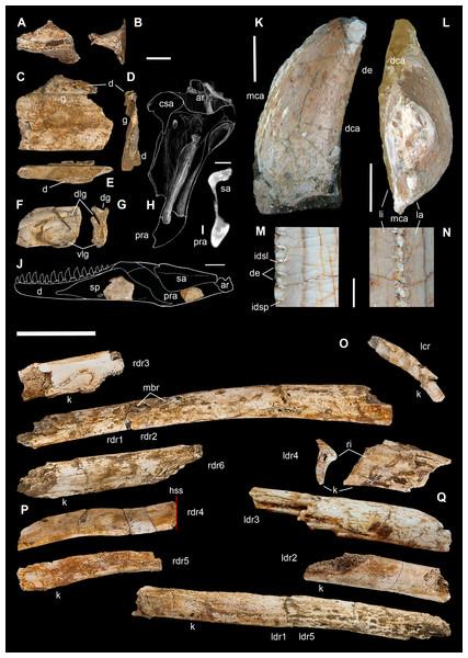 Cranio-mandibular fragments, tooth, and ribs of Saltriovenator zanellai.