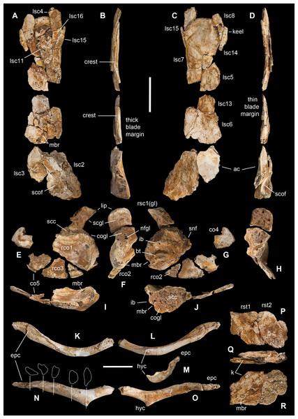 Pectoral girdle of Saltriovenator zanellai.