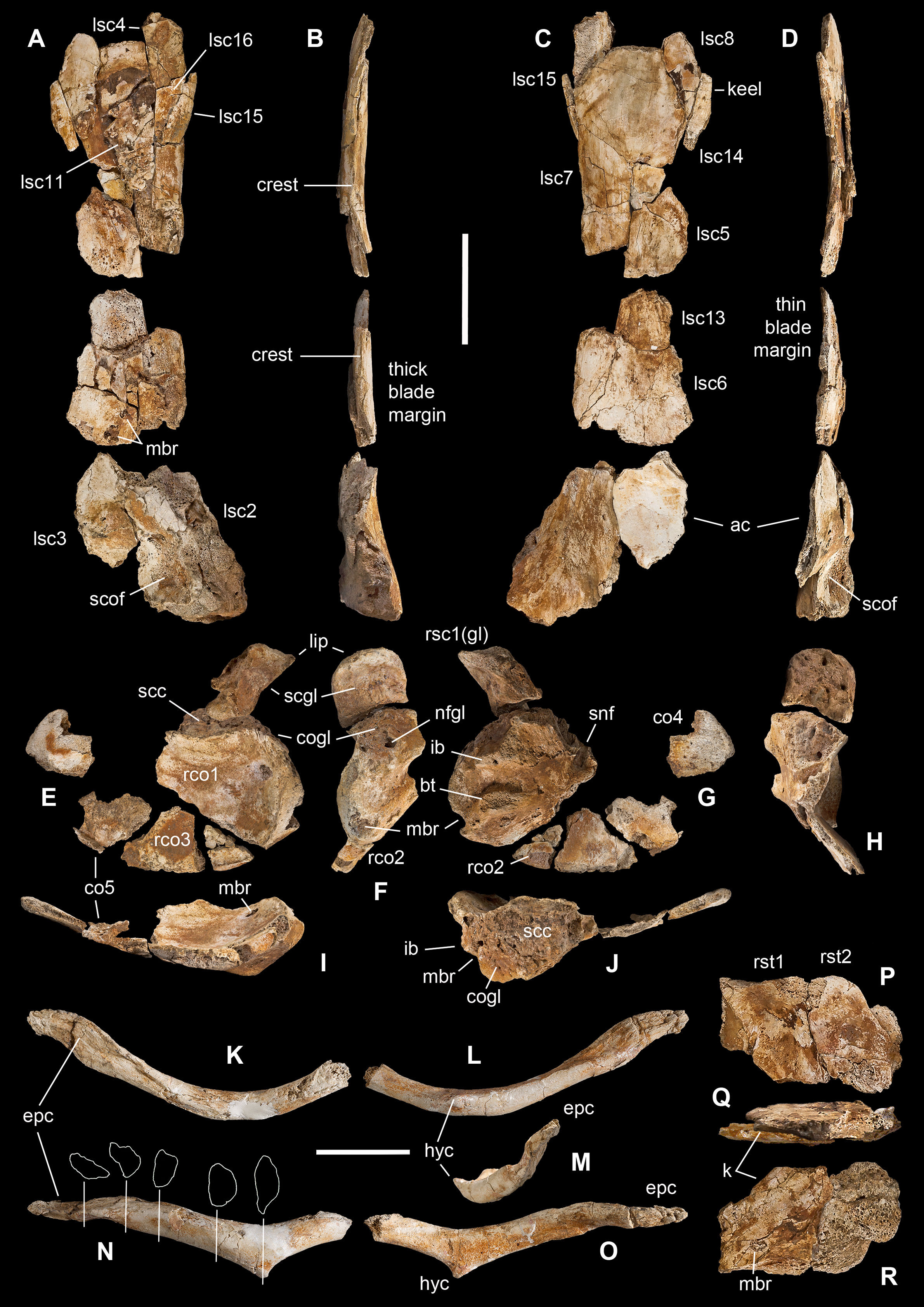 The oldest ceratosaurian (Dinosauria: Theropoda), from the