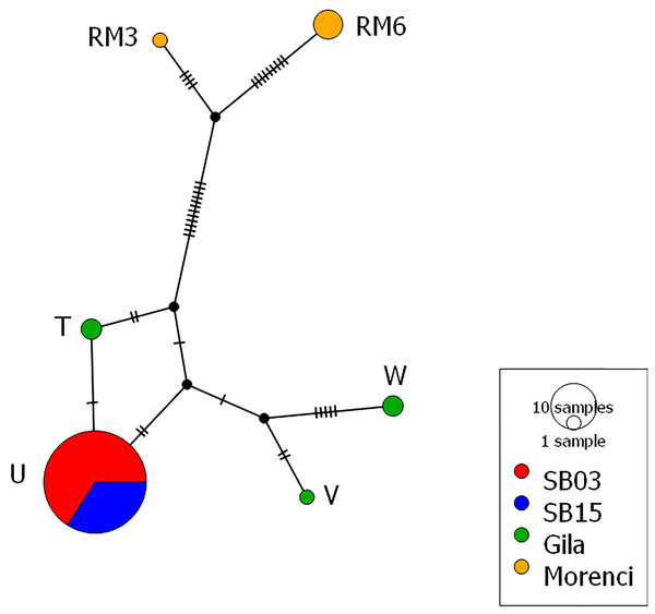 Mitochondrial haplotype network.