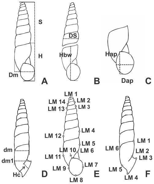 Line drawings of Clessinia showing the placement of shells to obtain the linear measurements (mm).