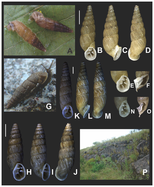 Clessinia stelzneri (A, B–F) and C. tulumbensis sp. nov. (A, G–M), general shell morphology and habitat (P).