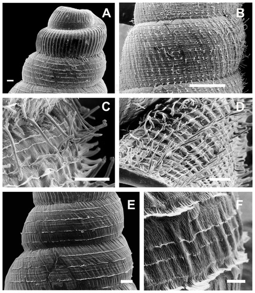 Clessinia stelzneri and C. tulumbensis sp. nov., shell ultrastructure.