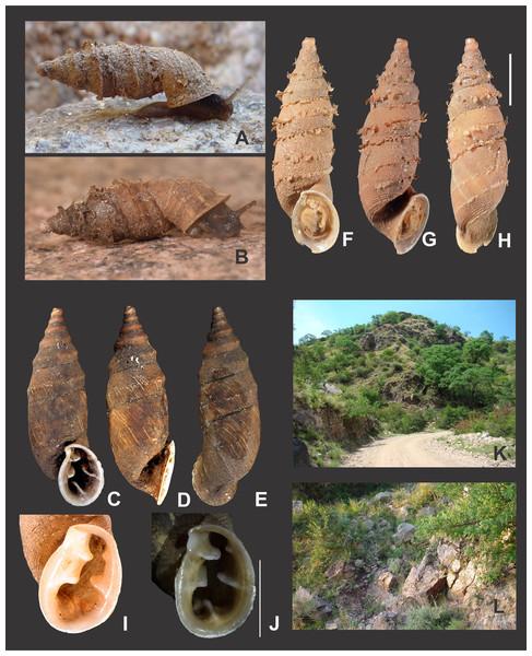 Clessinia pagoda, general shell morphology and habitat.