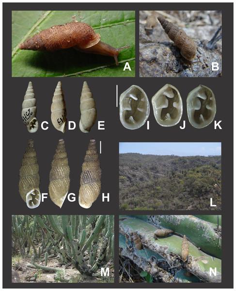 Clessinia nattkemperi, general shell morphology and habitat.