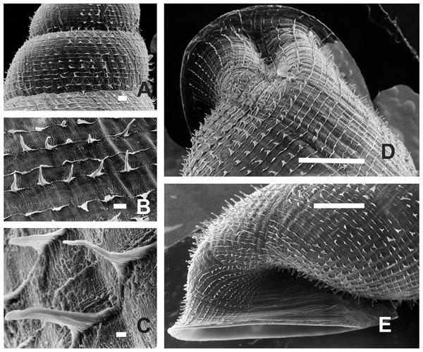 Clessinia nattkemperi, shell ultrastructure.