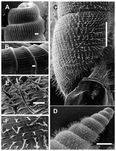 Clessinia cordovana, shell ultrastructure.