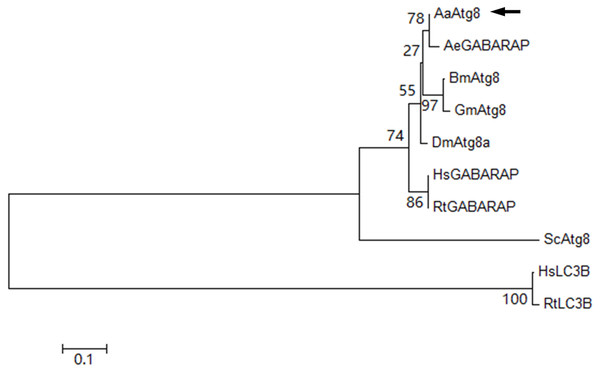 Phylogenetic analysis of AaAtg8.