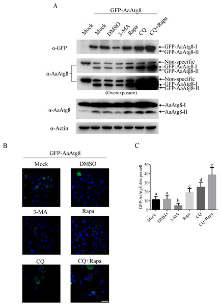 GFP-AaAtg8 could be used to monitor autophagy in C6/36 cells.