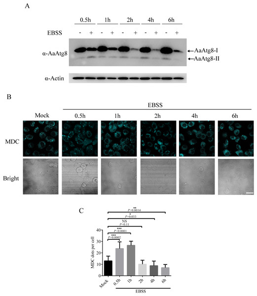 Starvation treatment induced autophagy in C6/36 cells.