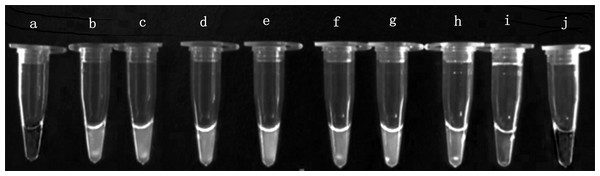 Visual inspection of the LAMP amplicons for Enterocytozoon hepatopenaei.