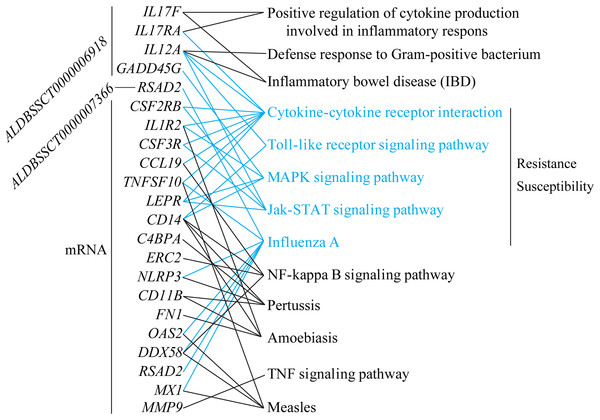 lncRNAs and mRNA associated with susceptibility or resistance to C. perfringens type C infection.