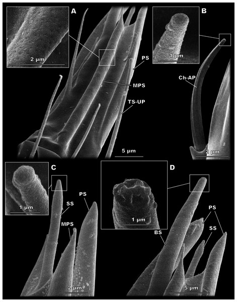 Morphological types of antennal sensilla in Megaphragma amalphitanum (SEM).