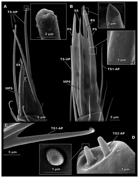 Morphological types of antennal sensilla in Megaphragma amalphitanum (SEM) (continuation).