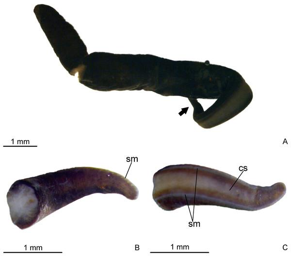 Difroehlichia elenae sp. nov., holotype.