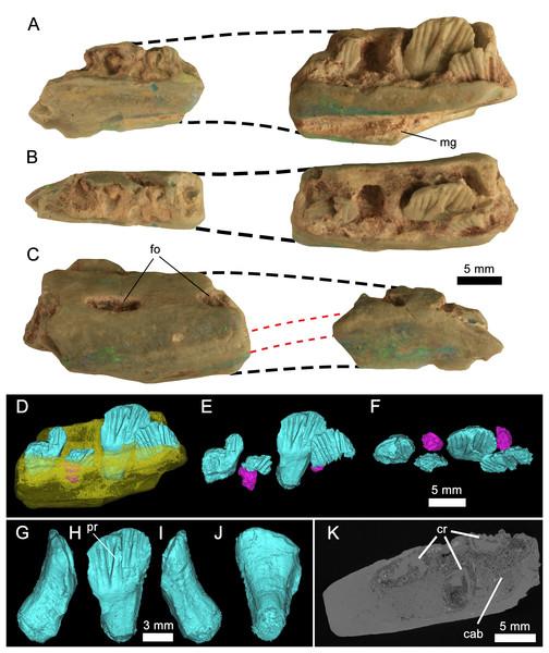 Weewarrasaurus pobeni gen. et sp. nov. (LRF 3067; holotype).