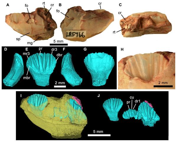 Weewarrasaurus pobeni gen. et sp. nov.(LRF 766).