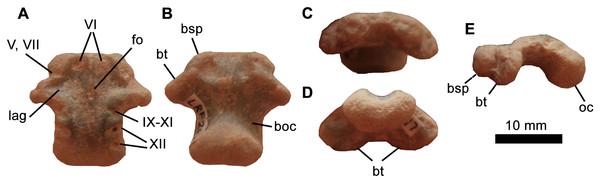 Iguanodontia indet. basioccipital (LRF 267).
