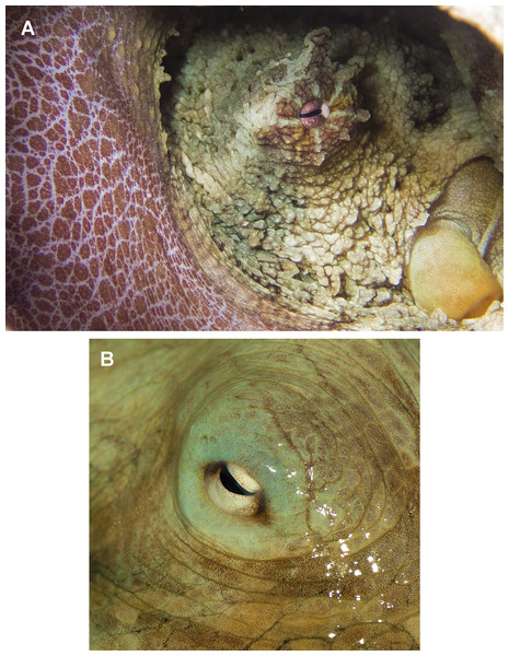Skin and colour patterns of the VRS common octopus.