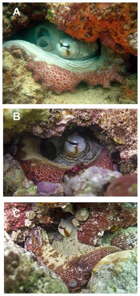 In situ photographs of octopus specimens.