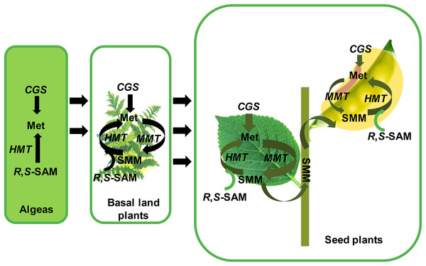 The functional model of CGSs, MMTs and HMTs to synthesize the methionine in plants.