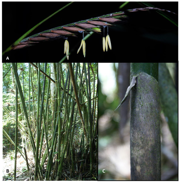 Merostachys neesii Rupr. (Poaceae: Bambusoideae), a native woody bamboo in a pristine montane forest (Atlantic Forest), Brazil.