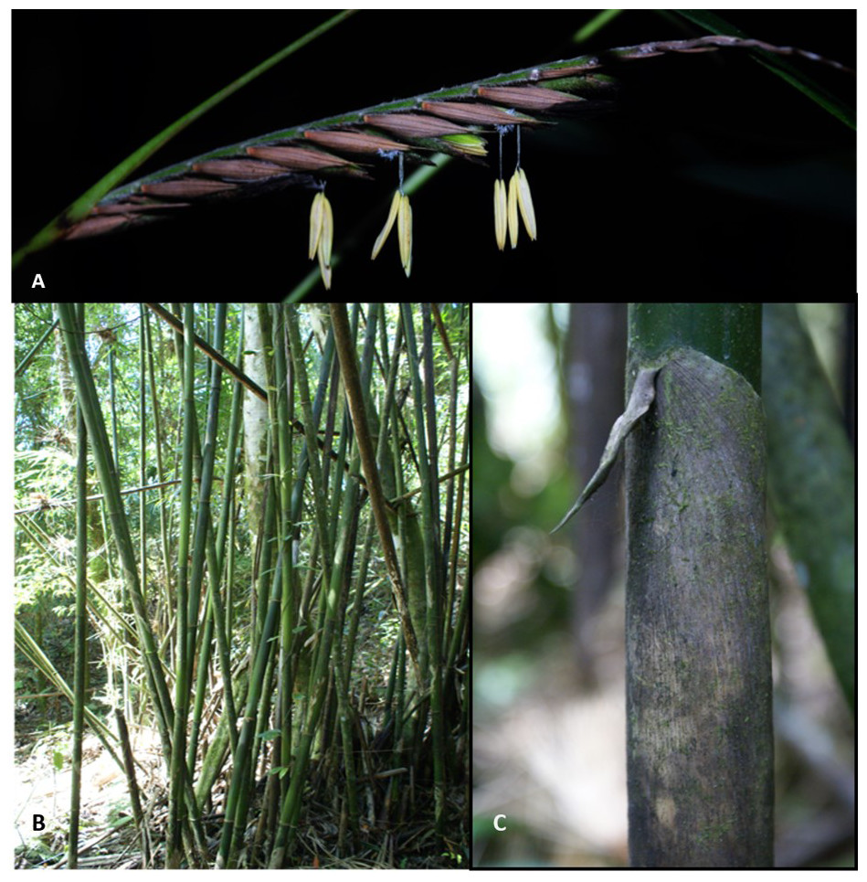 Nitrogen Input By Bamboos In Neotropical Forest A New Perspective