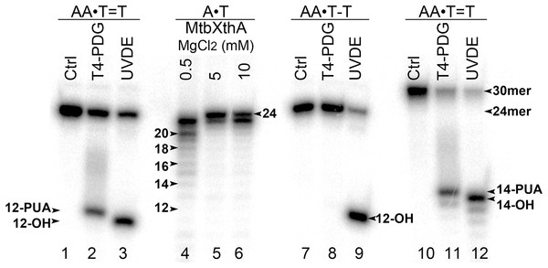 Analysis of the cleavage products generated by T4-PDG and UVDE enzymes.