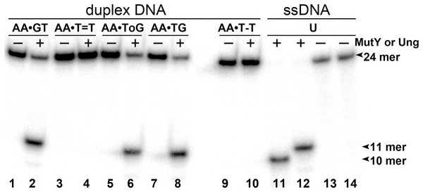 Analysis of the cleavage products generated by MutY and UNG when acting upon 24 mer oligonucleotides containing base modifications.