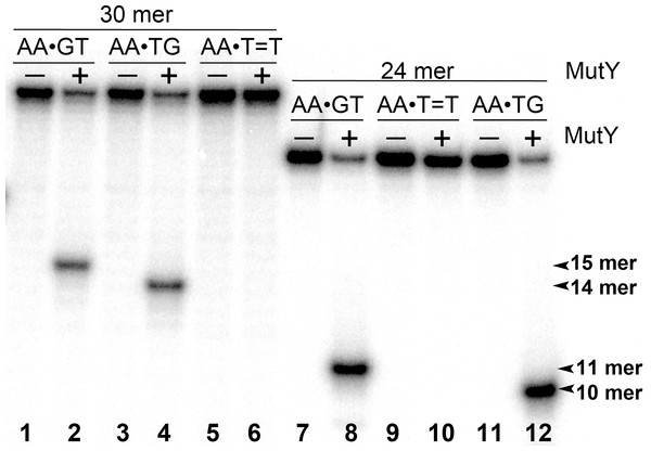 Analysis of the cleavage products generated by MutY when acting upon 30 and 24 mer duplex oligonucleotides containing either A•G mismatch or CPD adduct.