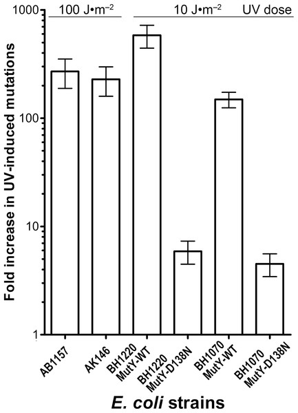 Graphic representation of the UV-induced increase in mutation frequencies in E. coli strains containing the WT and D138N mutant MutY protein.