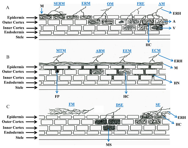 Schematic representation of root colonization strategies in plant-fungal symbioses.