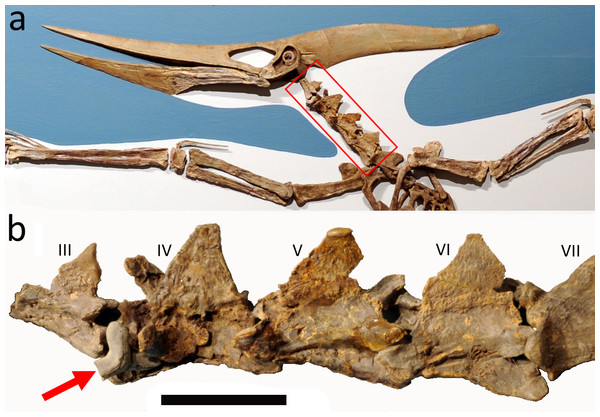Mounted Pteranodon and close up of the neck.