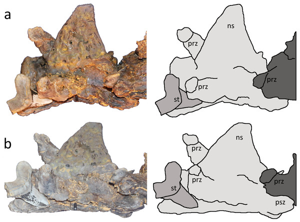 Two close up views of the Cretoxyrhina mantelli tooth with tracings.