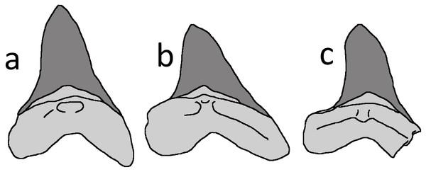 Cretoxyrhina mantelli anterior teeth.