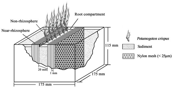 Schematic diagram of the rhizobox (175 × 175 × 115 mm) used for cultivation of submerged P. crispus (modified from He et al., 2005).