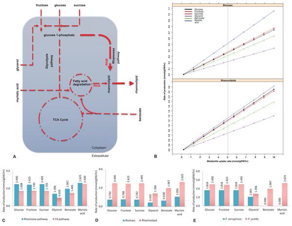 Biosynthesis of rhamnolipids from the metabolic engineered model of Pseudomonas putida.