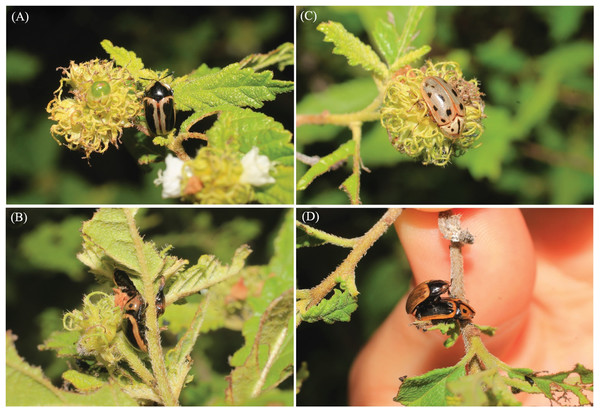 Individuals of Eurypedus nigrosignatus found feeding and copulating on the native plant species Cordia curassavica (Jacq.) Roem. & Schult. (Boraginaceae), in the Parque Nacional del Este, in the eastern part of the Dominican Republic.