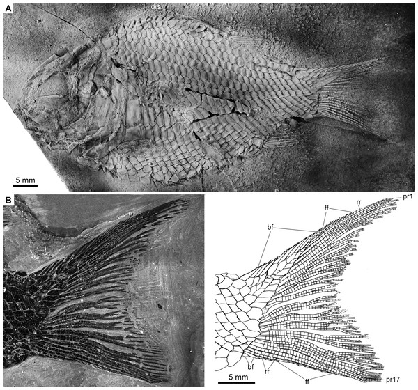 Complete skeleton of IVPP V22922 and caudal fin of IVPP V19992.