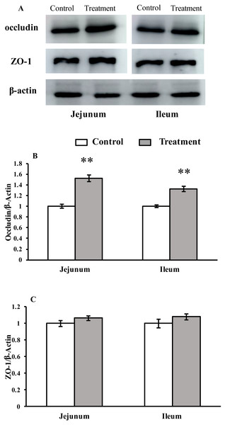 The protein abundance of TJs in the intestinal tissues of weaned piglets.