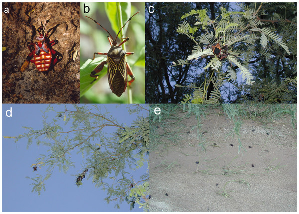 Plate of several photos (A–E), showing mesquite bug nymph, adult, mating adults, clustered adults on mesquite, dead adults on the ground.