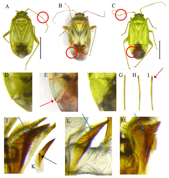 External and genital structures as diagnostic characters of three Apolygus species.