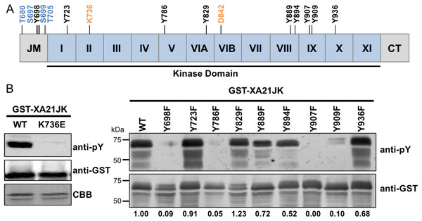 XA21 is autophosphorylated on tyrosine residues in vitro.