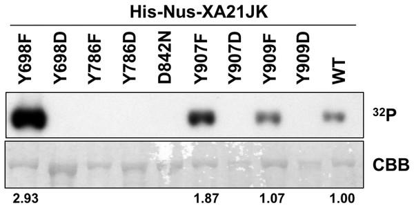 Kinase autophosphorylation activity is lost in certain His-Nus-XA21JK variants.