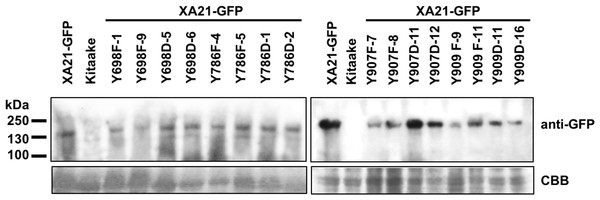 XA21-GFP proteins are expressed in rice leaves.