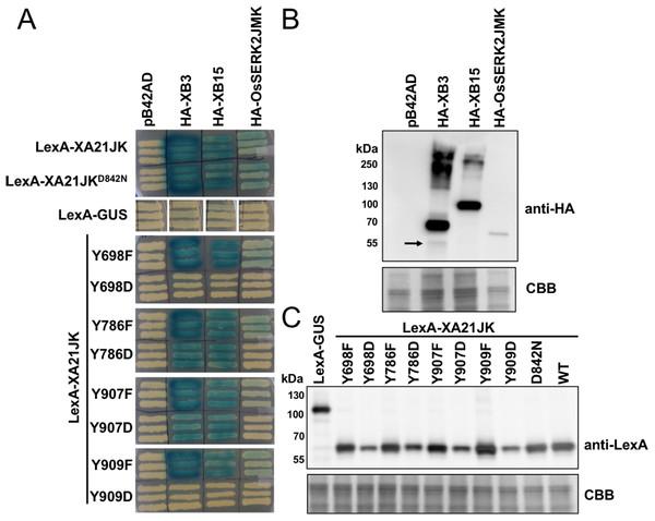 XA21JKYD variants fail to interact with known XA21 binding proteins.