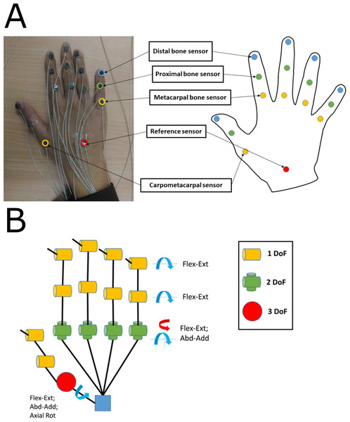 (A) Sensor placement location on hand. (B) Kinematic hand model consisting of 21 DoFs.