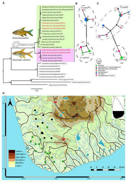 A Phylogram, haplotype networks for two genes and distribution map for species of Rasboroides in Sri Lanka.