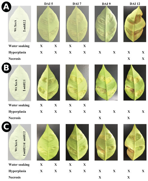 In planta pathogenicity test by injection directly into young leaves.